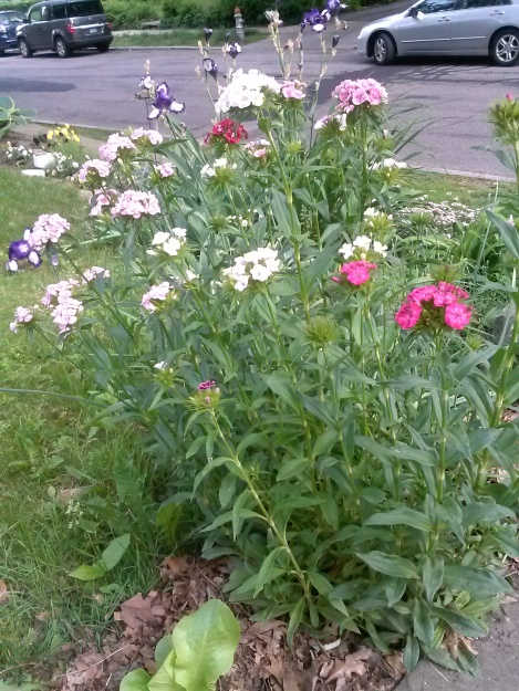 growing sweet william from se