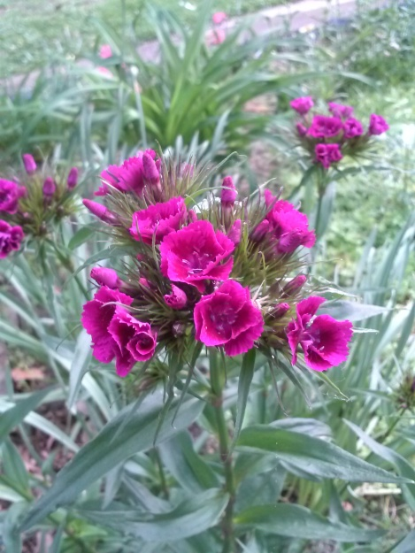 growing sweet william from seed 3