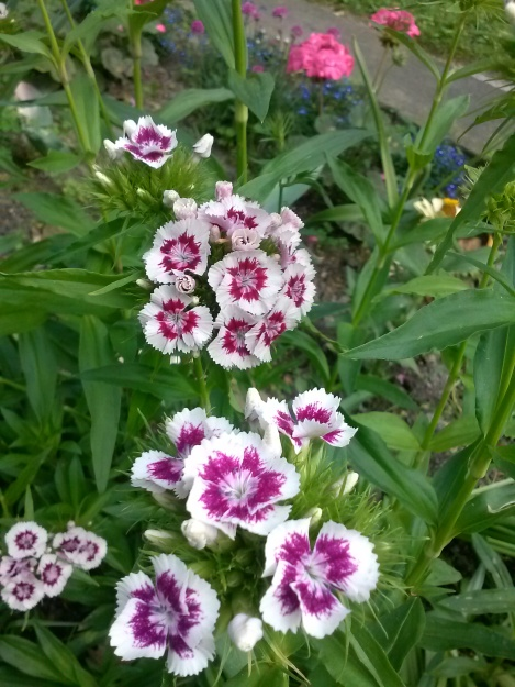 growing sweet william from seed