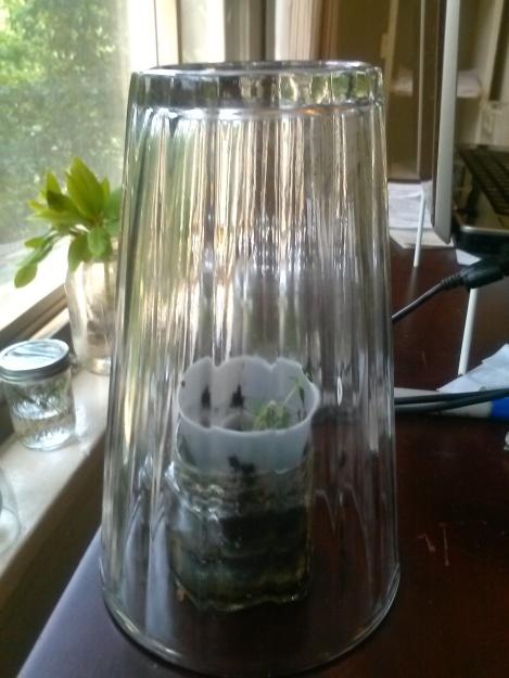 growing thyme 9