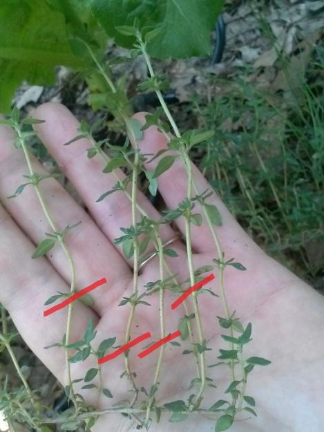 growing thyme2