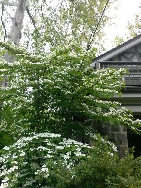 pruning dogwood