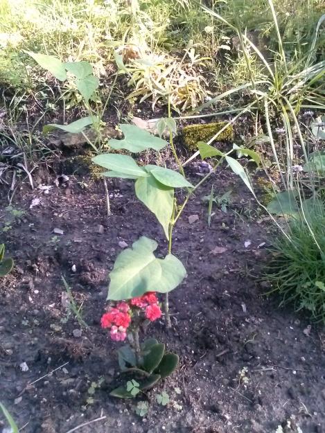 starting bean seeds
