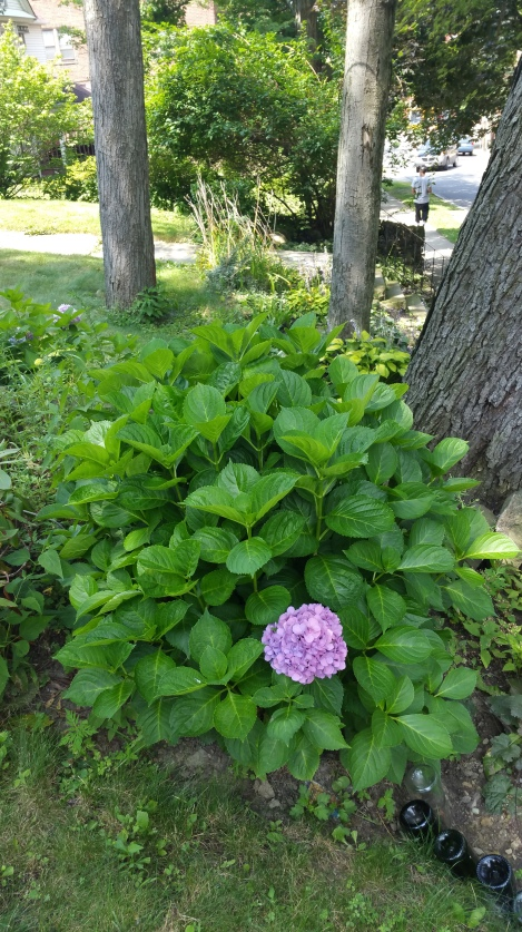 growing hydrangeous